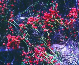 Ephedra - Ephedra trifurca, Ephedra distacha, Ephedra