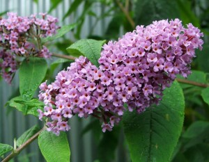 Buddleia flower buddleiae officinalis mi meng hua buddleia flower butterfly bush buddleia - Tough perennial bloomers drought insect and pest resistant flowers ...