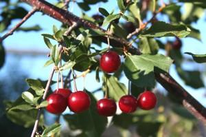 Wild Cherry Bark