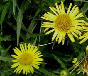 inula flower