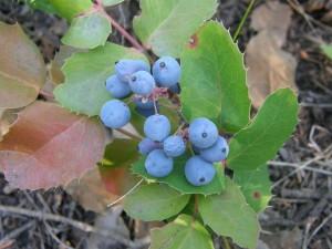 Oregon Moutain Grape