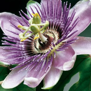 Passion Flower on Passion Flower   Passiflora Incarnata  Maypop  Passion Flower