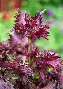 perillia leaf